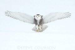 snowy owl landing photo by Steve Courson
