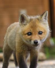 Red Fox Kit- Vulpes vulpes photo by MattSullivan