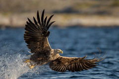 White-tailed sea eagle, Norway photo by Susanna Chan