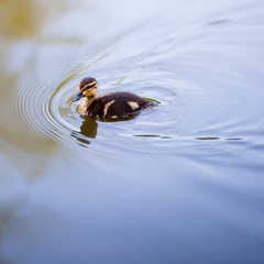 one little duck went swimming one day photo by arrowlili
