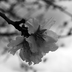 blooming almond photo by ΞSSΞ®®Ξ