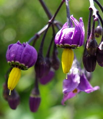 Mon nom : 'Atropa belladonna'... Deadly nightshade... photo by anne arnould