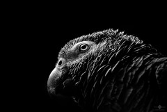 Grey Parrot photo by chmeermann | www.chm-photography.com