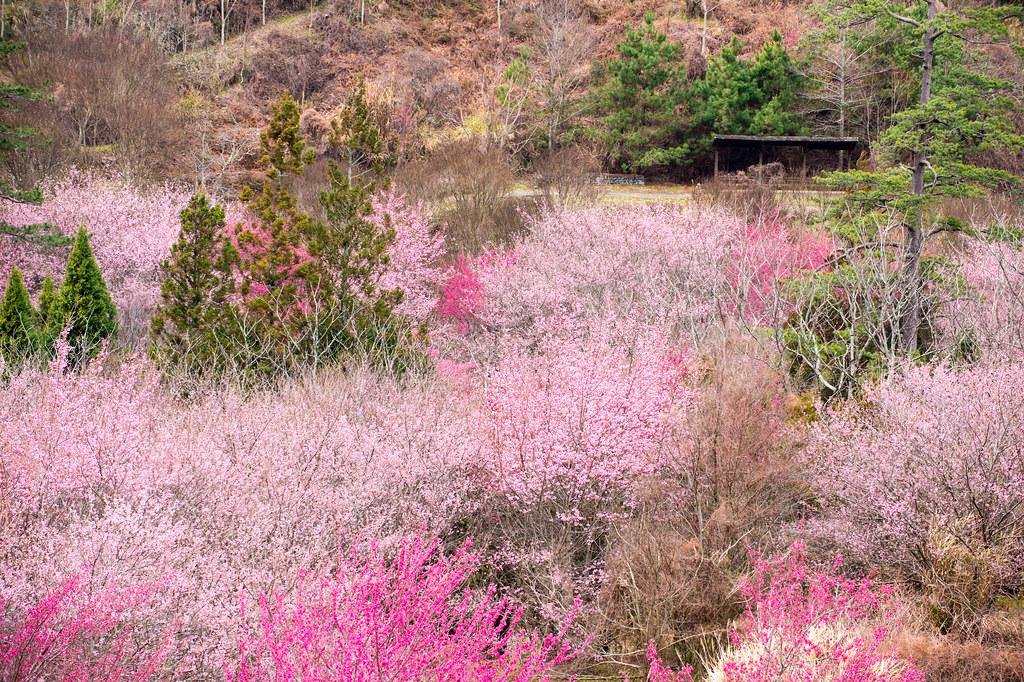 武陵农场赏樱 DSC_6180