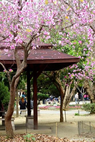 03_台南公園羊蹄甲
