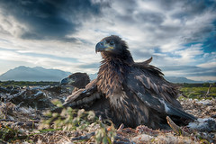 White-tailed Eagle (Haliaeetus albicilla) photo by Gudmann