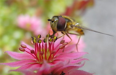 Hoverfly during lunch photo by fxdx