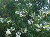 Solanum Jasminoïdes