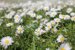 Daisies everywhere! photo by lucy★photography
