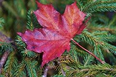 Leaf fallen on the fir :-)))) photo by Dorota.S - Off!