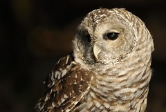 Barred Owl photo by Mark Schwall