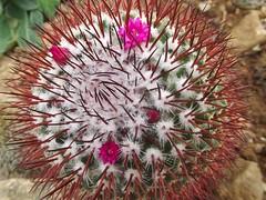 Cactus du jardin exotique de Roskoff (29) Finistère photo by jackline22 .