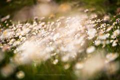 Daisy photo by Elettra | Panzarino | PhotoStory