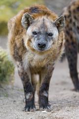 Walking fat hyena photo by Tambako the Jaguar
