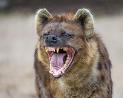 Yawning spotted hyena photo by Tambako the Jaguar