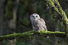 Barred Owl photo by Canonshooterman