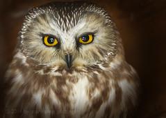 Northern Saw-whet Owl photo by maryanne.pfitz