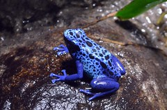 Blue Poison Dart Frog photo by presbi