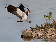 Lapwing - Venellus venellus photo by normanwest4tography