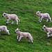 Springing Lambs