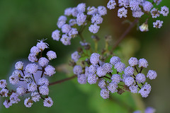 Blue mistflower photo by holdit.