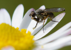 Fly on a daisy (Explored) photo by Leigh Feaviour