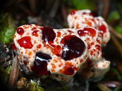 Strawberries and cream fungus photo by annkelliott