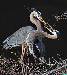 GREAT BLUE HERON COUPLE - ROMANTIC DANCE POSE photo by ginger146