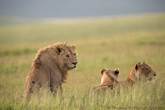 Lions lying in the crater photo by Wild Dogger