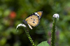 Monarch Butterfly photo by Wilf41