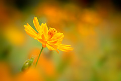 Yellow Cosmos.*黃波斯菊* photo by Fu-yi