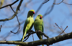 Pair of Parakeets photo by Judy Rothchild