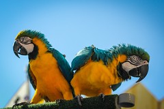 Blue and Yellow Macaws. photo by JenO'K
