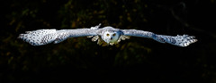 Fly By Night _Snowy-face-on-c-10022013 photo by beabss