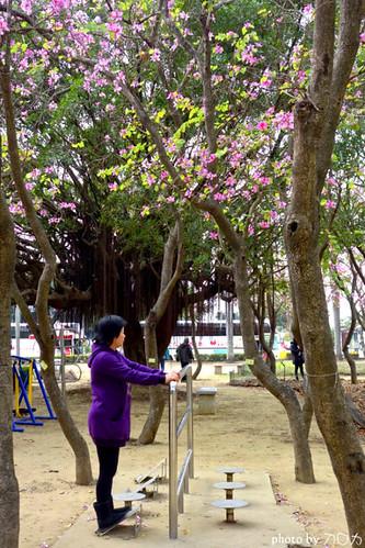 21-1_台南公園羊蹄甲