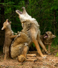 Howling lesson photo by debbie_dicarlo