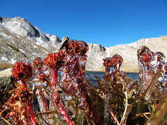 Frozen Flowers at Summit Lake, Colorado photo by Batikart