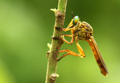 Robberfly photo by karthik Nature photography
