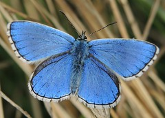 Adonis Blue (Polyommatus bellargus) photo by Rezamink