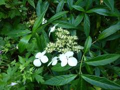 H. chinensis formosana