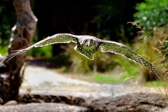 Barking Owl photo by mestevie