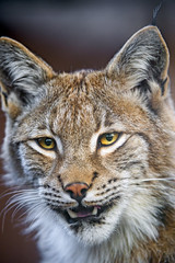 Pretty lynx with mouth a bit open photo by Tambako the Jaguar