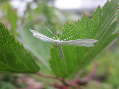 papillon nocturne Pterophore blanc (4)