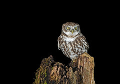 Little Owl-Athene noctua At Night. Uk photo by PANDOOZY PHOTOS