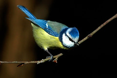 Chapim azul - Blue tit - Parus caeruleus photo by Yako36