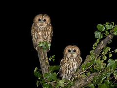 Tawny Owl (Strix aluco) Pair photo by phil winter
