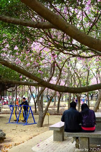 21-2_台南公園羊蹄甲