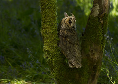 Long-eared-owl_6712 photo by Peter Warne-Epping Forest
