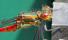 Large Red Damselfly photo by Graham Dash