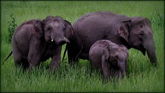 Out for the day with mom - Asian Elephant Family photo by charmnic